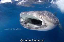 a feeding whale shark north of isla mujeres Mex by Javier Sandoval 